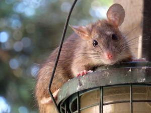 Rat Control Gold Coast