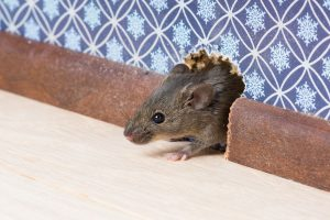 rat control gold coast